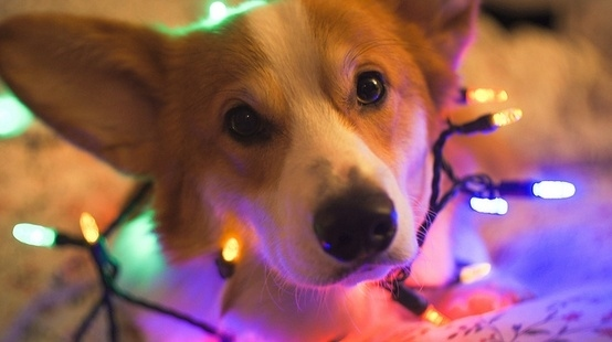 dog christmas lights