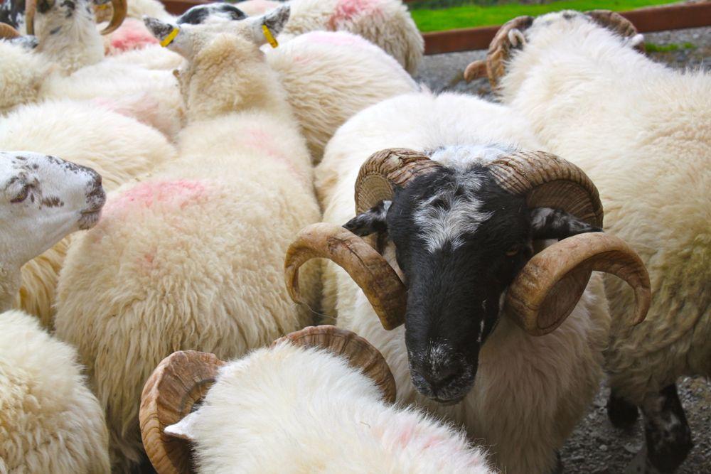 659 -Kissane Sheep Farm