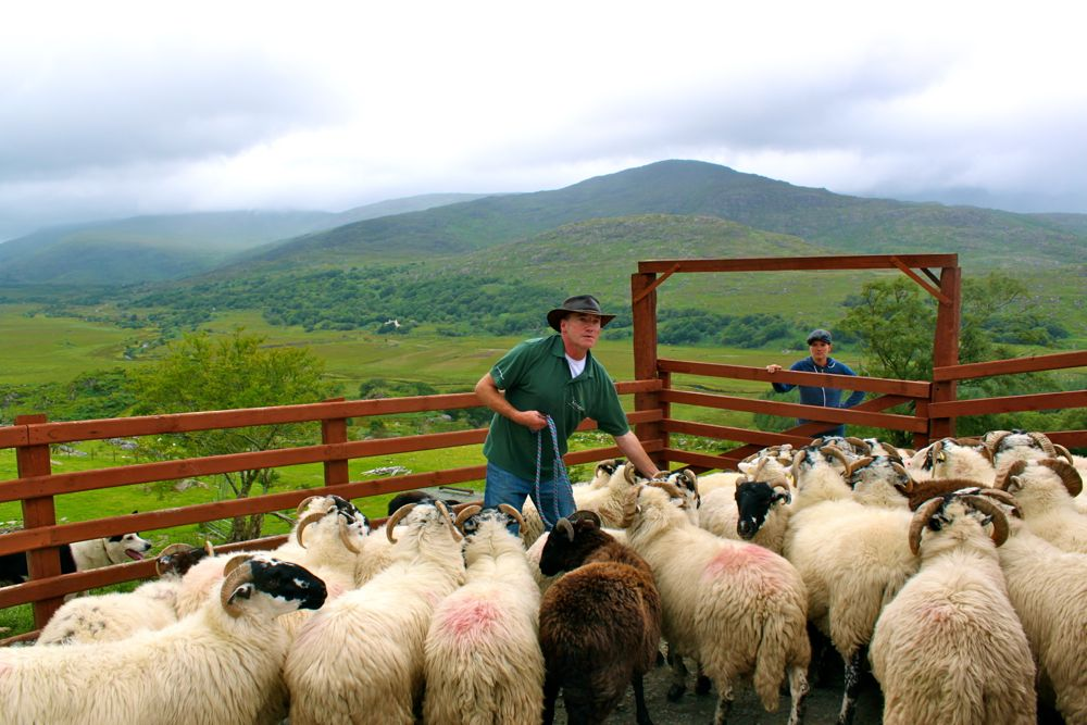 663 -Kissane Sheep Farm