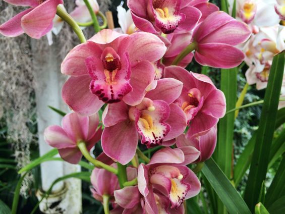 NYBG Orchid Show24