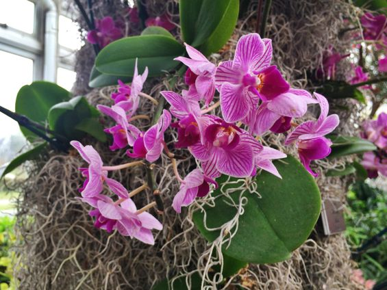 NYBG Orchid Show31