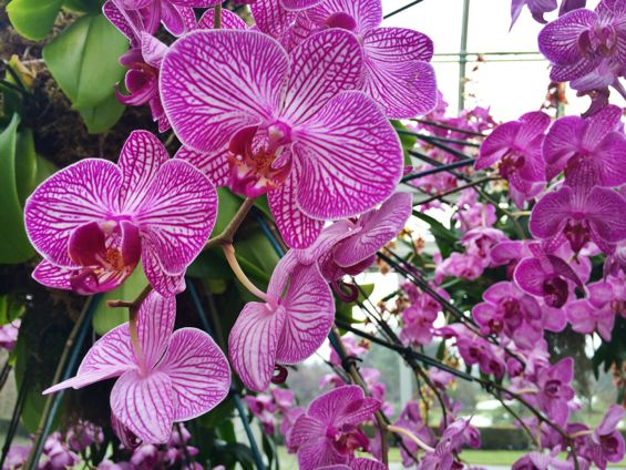 NYBG Orchid Show36