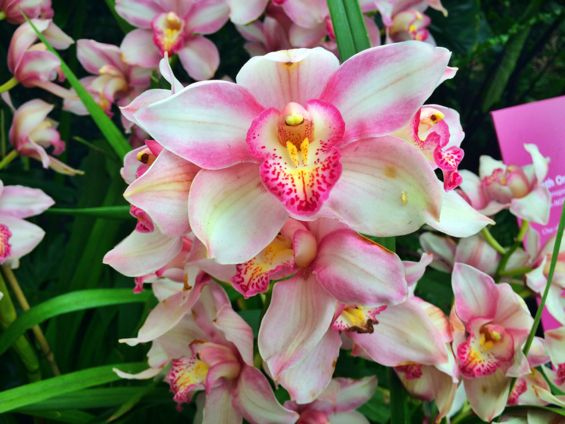NYBG Orchid Show42