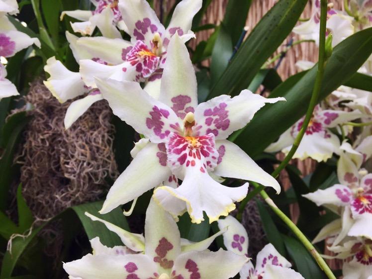 nybg-orchidelirium3