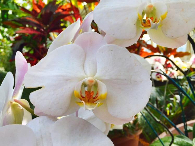 nybg-orchidelirium5