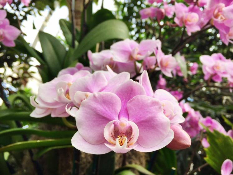 nybg-orchidelirium6